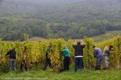 Grape picking in Riquewihr