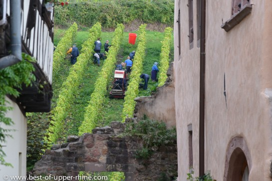 Grape harvesting in Riquewihr on the Schoenenbourg hill