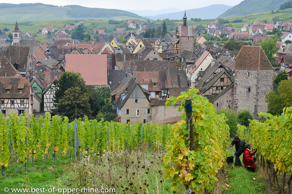harvesting grapes on the Schoenenbourg hill in Riquewihr