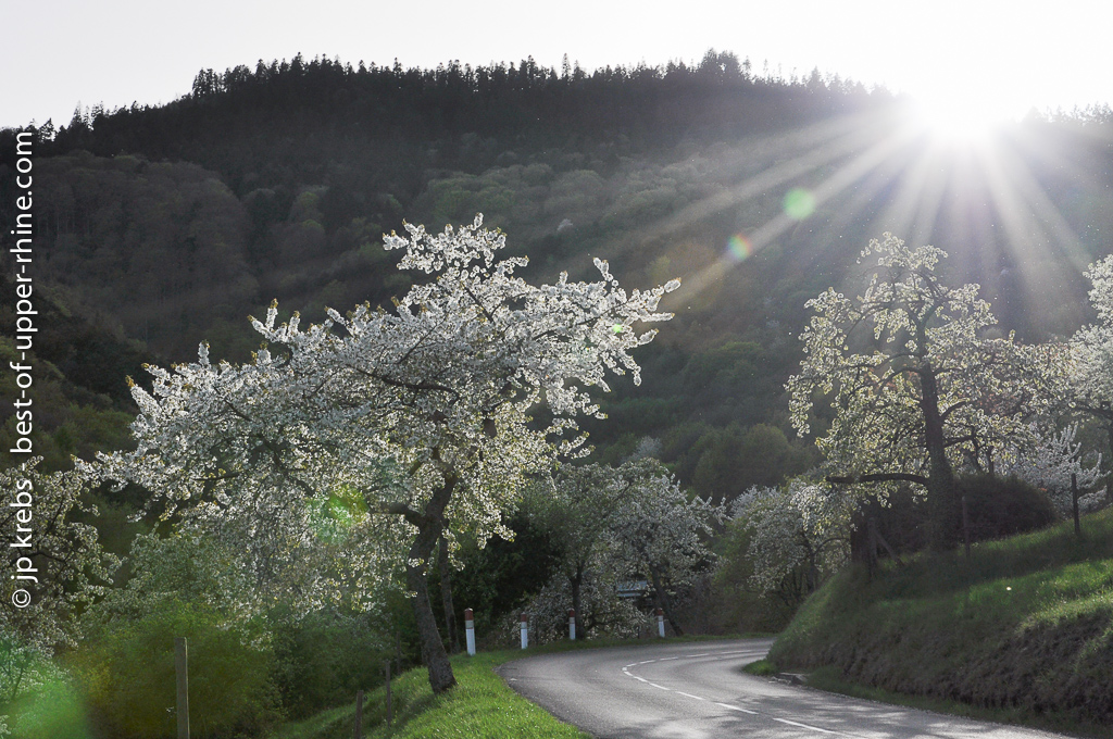 Cherry trees blossoming