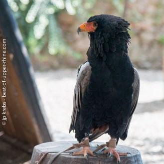 Bateleur Eagle (Theratopius ecaudatus).