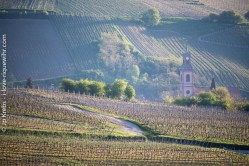 Church tower among the vineyards