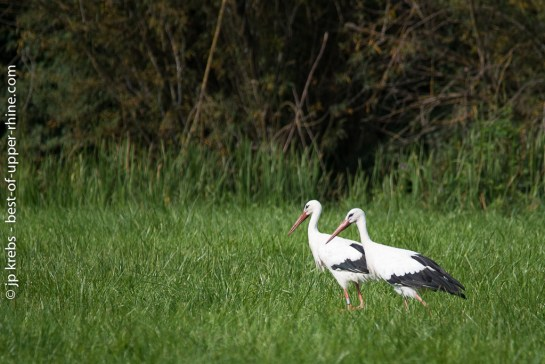 White storks looking for food