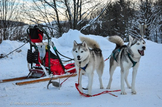 Hiking in the Vosges with sled dogs and a musher …