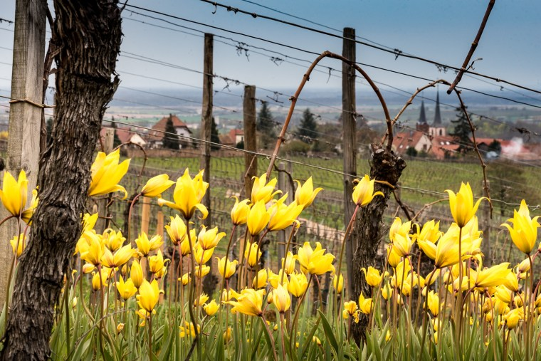 Wild tulips, Tulipa Sylvestris, on the Zotzenberg vineyards in Mittelbergheim.