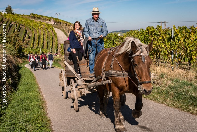 Michel, leading his mare Ophasia to the vineyard. The members of the Confrérie walk with the harvesters of a day
