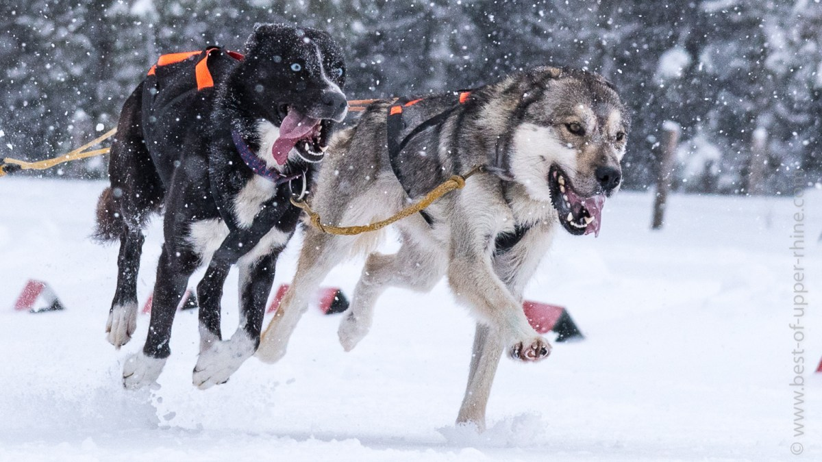 The sled dog race at Lac Blanc ski resort