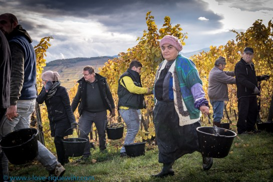 Grape harvesting in Riquewihr, Grand Cru Schoenenbourg, Dopff Au Moulin estate.
