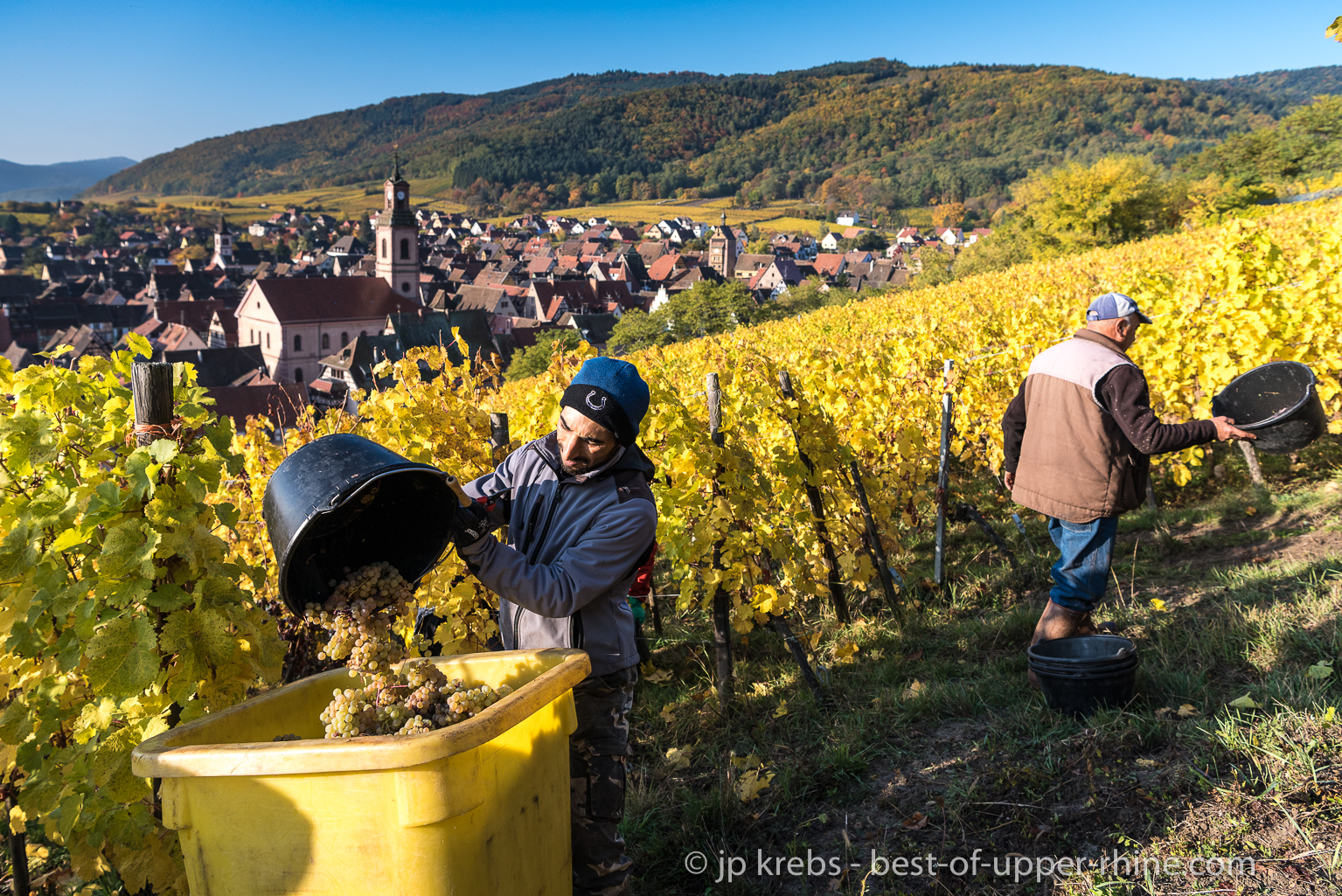 Harvest on the hill Grand Cru Schoenenbourg