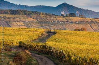 Famous vineyards in Riquewihr