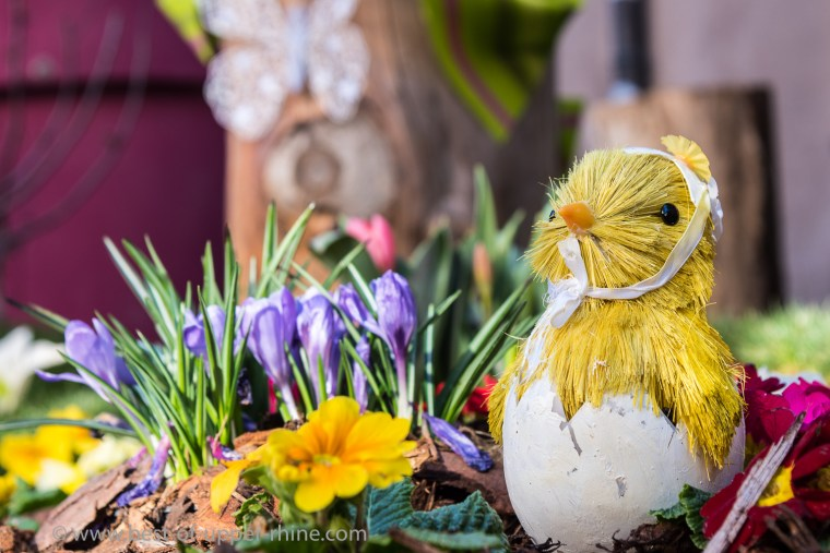A chick of straw just out of the egg wants to enjoy the spring ...