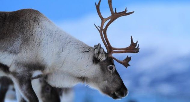 1514212374 756 10 little known facts about reindeer - 10 Little-Known Facts About Reindeer