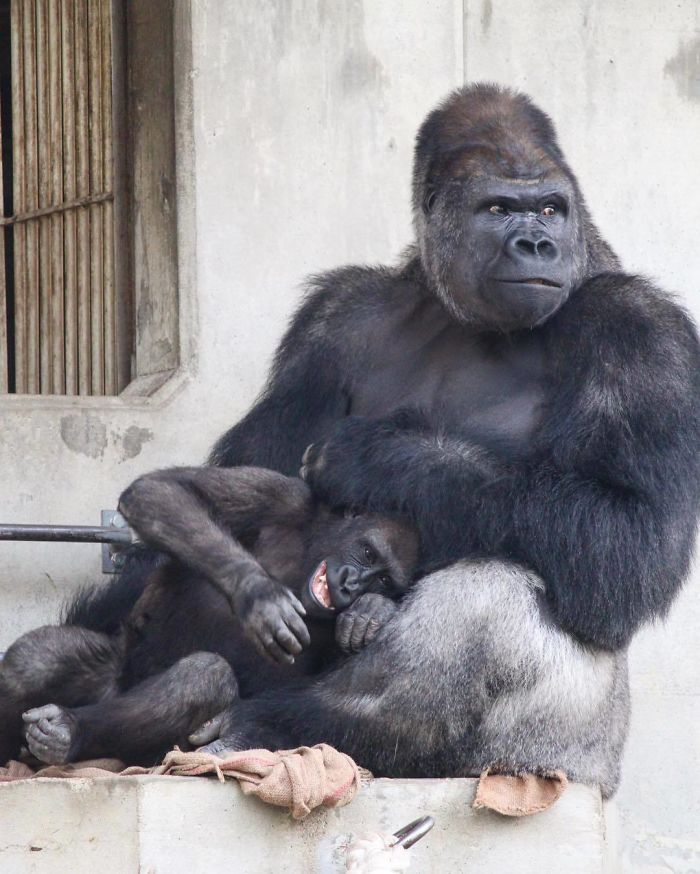1514403496 806 people are comparing this ridiculously photogenic gorilla to george clooney and we cant handle it - People Are Comparing This Ridiculously Photogenic Gorilla To George Clooney And We Can't Handle It