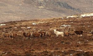 1517281415 extremely rare ghostly white stag spotted in scotland - Extremely rare 'ghostly' white stag spotted in Scotland