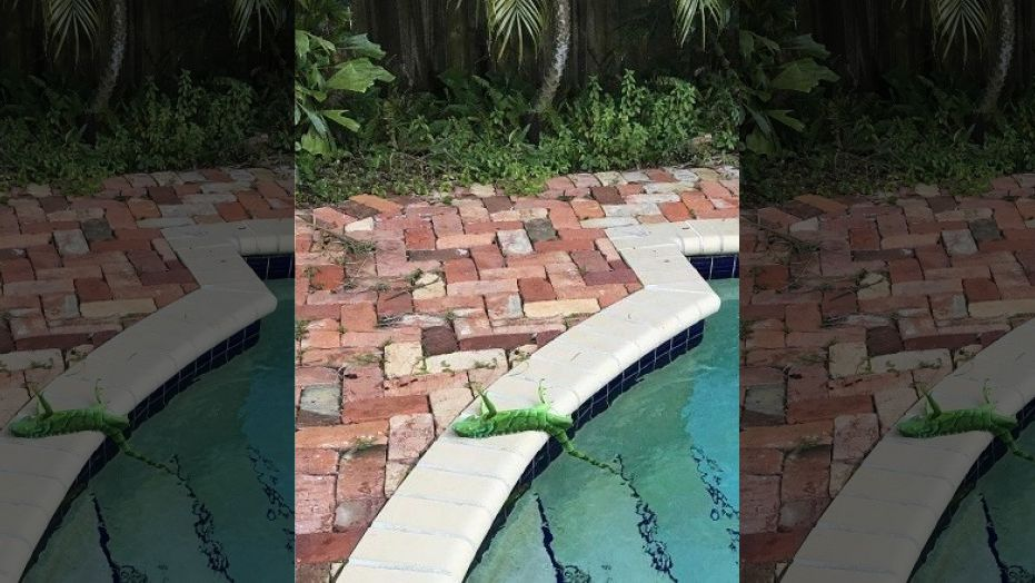 It's so cold in Florida; iguanas are freezing and falling out of trees.