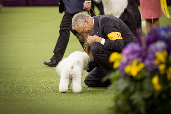 Flynn the Bichon Frisé who won Best in Show at Westminster.