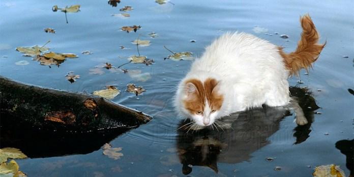 Il gatto Turco Van: il tocco di Allah | best5.it