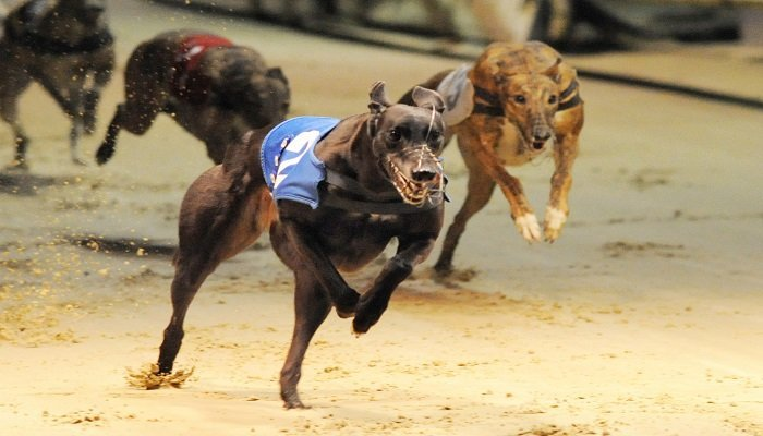 Betting on the Guys and Dolls Greyhound Semi Finals 1