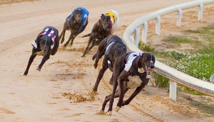 English Greyhound Derby Venue 2019 Betting 1