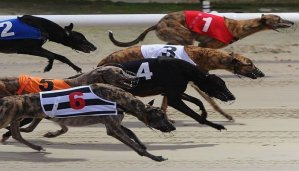 Early Betting on the Brighton Belle Greyhound Race 18