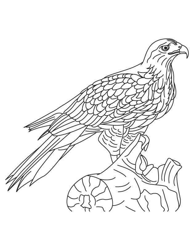 Shinned Hawk Coloring Page Download Free Shinned Hawk