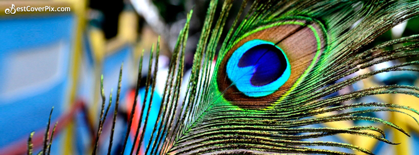 beautiful peacock feather fb cover