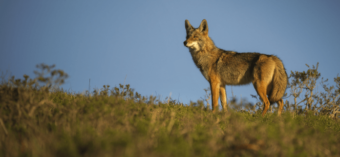 How to use electronic coyote calls