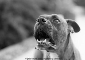 boxer dog barking