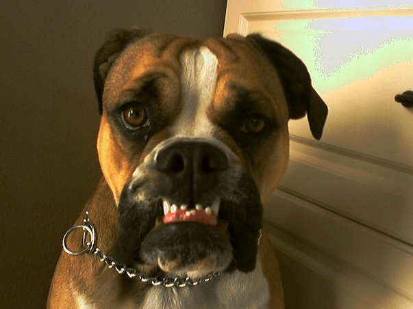 boxer-chewing-teething