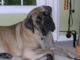 Boxer dog Shedding