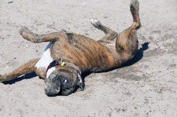 Boxer Dog Gas & Flatulence