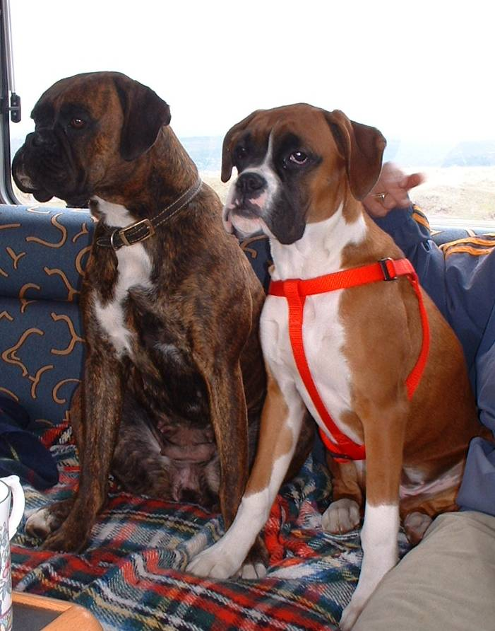common Diseases in boxer dogs