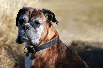 Boxer dog mast cell tumors