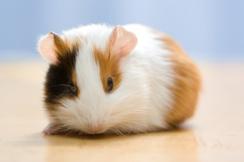 How can you make Guinea Pig More Adorable?
