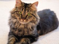 Maine coon colors