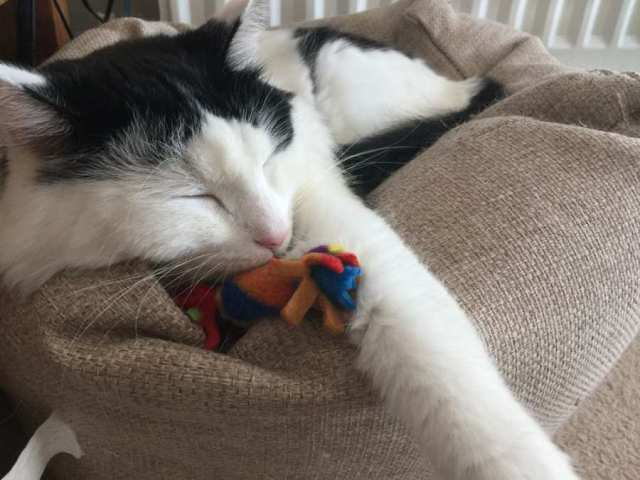 Big Alf with his new toy from My Purrfect Gift Box