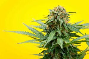 """Medical"" Cannabis versus ""Recreational"" Cannabis: an Overly Simplistic View"