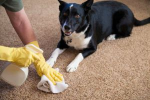 Best Carpet Cleaner for Old Pet Urine Stains