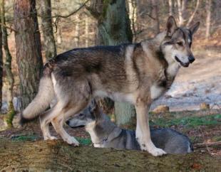 Собака Волкособ - пес специального назначения