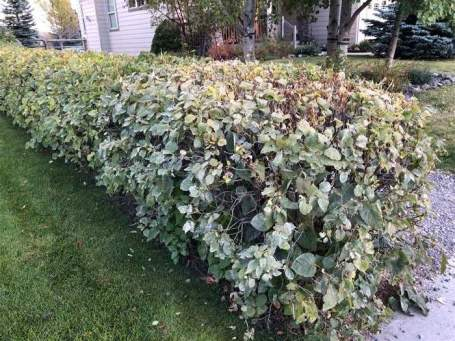 These hedges could use a trim. The great part about a cordless model is that you don't have to fuss around with gasoline or a cord to trip over.