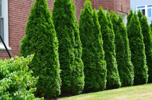 Arborvitae Privacy Hedge - Best Home Gear