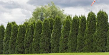 Best Privacy Hedges | Best Home Gear