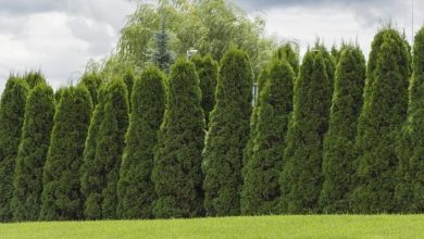 Photo of Fastest Growing Evergreen Shrubs for Privacy