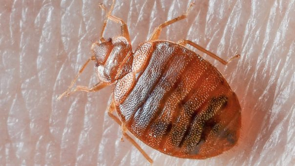 How to Get Rid of Bed Bugs | Best Home Gear