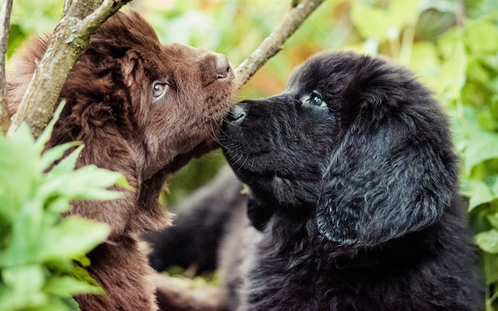 Download Wallpapers Newfoundland Dogs Puppies Pets