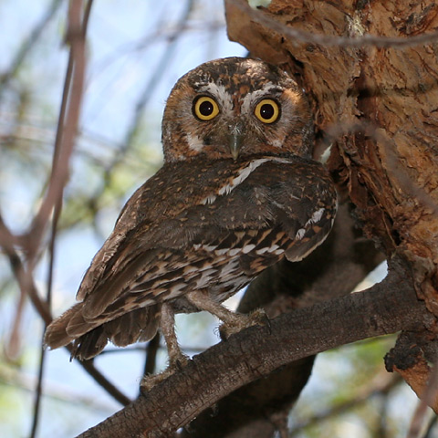 There have long been tales of the wise old owls who swoop through the windows of sleeping doctoral students in teh wee hours of the morning to finish their dissertations: new photos suggest that these stories may have basis in fact.