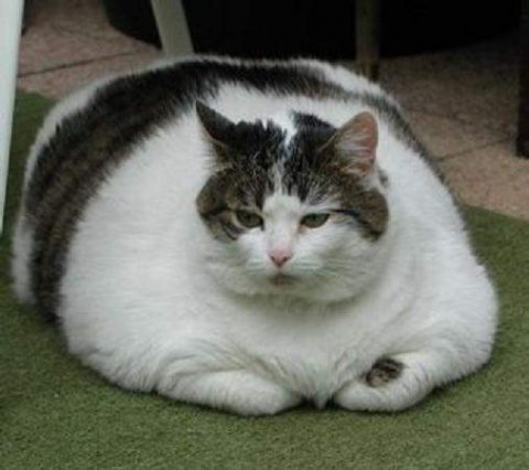Fatcats like this one have recently been the topic of much debate, with some wondering whether rescue programs should consider euthanasia.