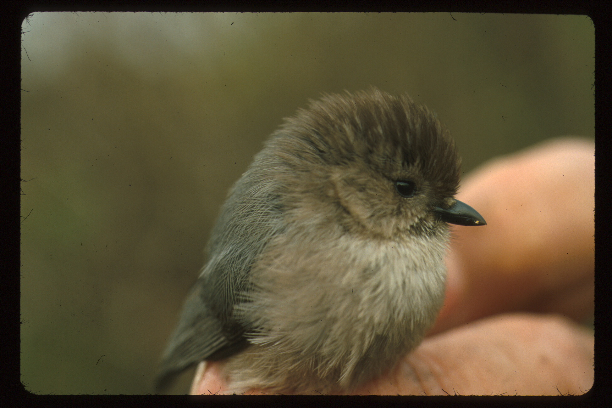 This tiny bushtit is likely a male, as females typically have light eyes. Note the size of the bird in relation to the handler's fingers (shown)