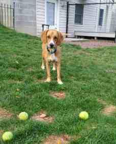 dog_tennis_balls