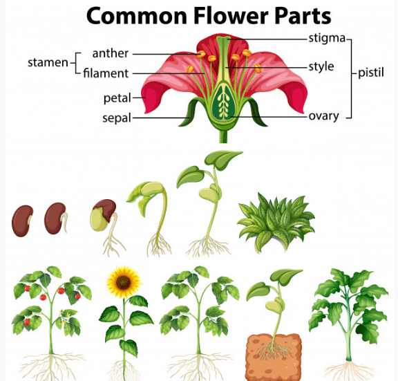 Getting to Know Plants Class 6 Notes Science Chapter 7